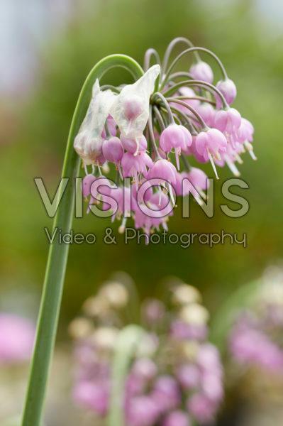 Allium cernuum Hidcote