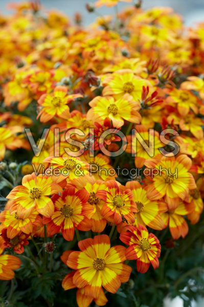 Bidens Hot and Spicy