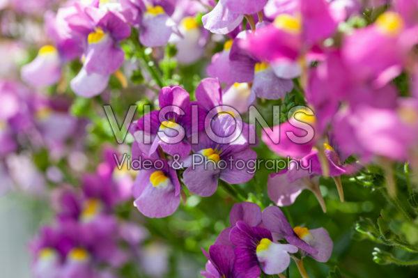 Nemesia Karoo Violet Ice