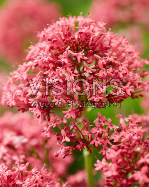 Centranthus ruber Coccineus