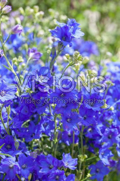 Delphinium grandiflorum Diamonds Blue