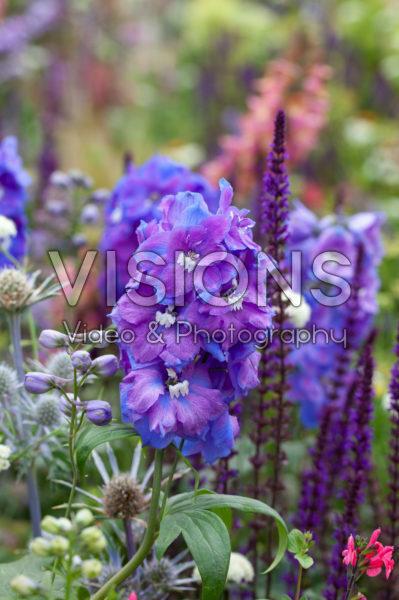 Delphinium, Salvia