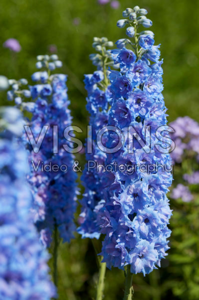 Delphinium Blue Lace