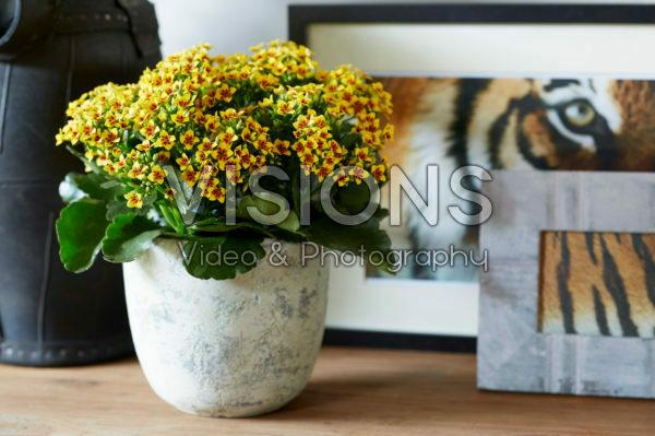 Kalanchoe Tiger