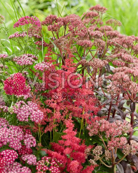 Perennial mix red