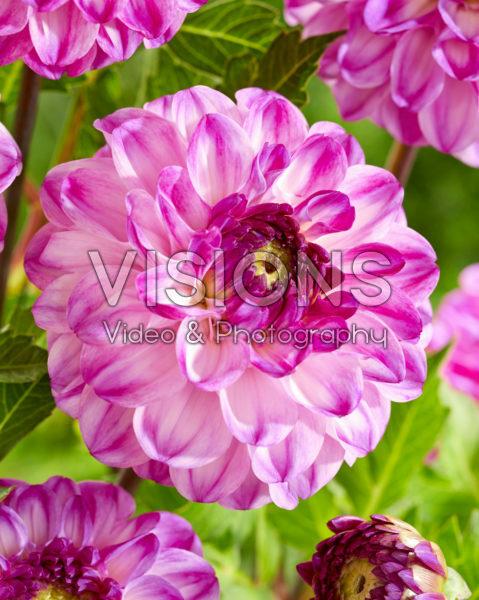Dahlia Purple Jill