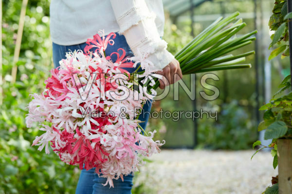 Nerine bloemen