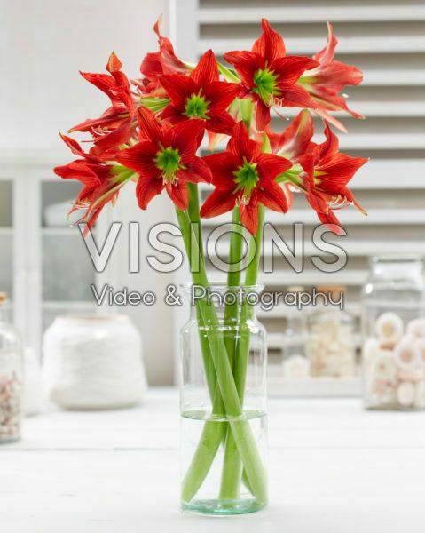 Hippeastrum Red Beauty