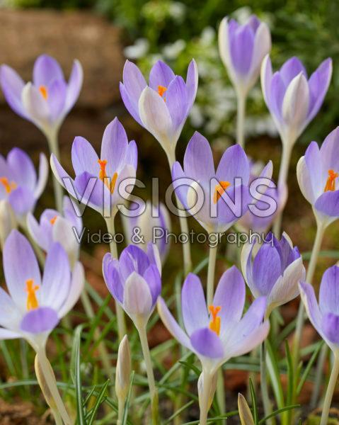 Crocus tommasinianus Lilac Beauty