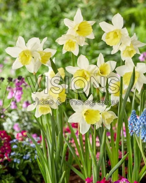 Narcissus Johanna Narcissus Johanna