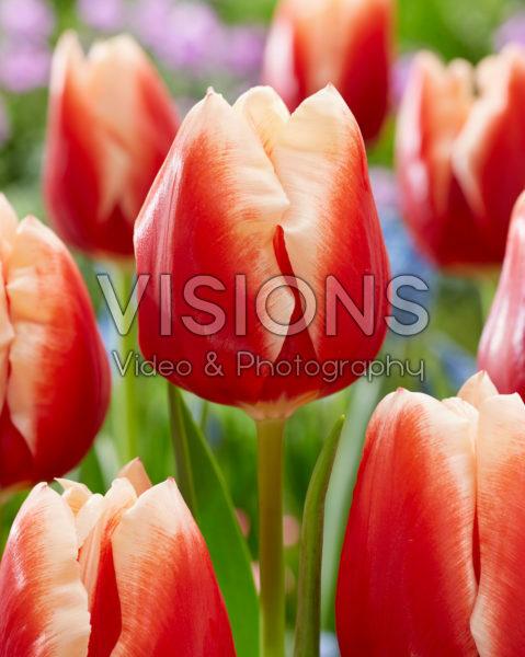Tulipa Jan Buis