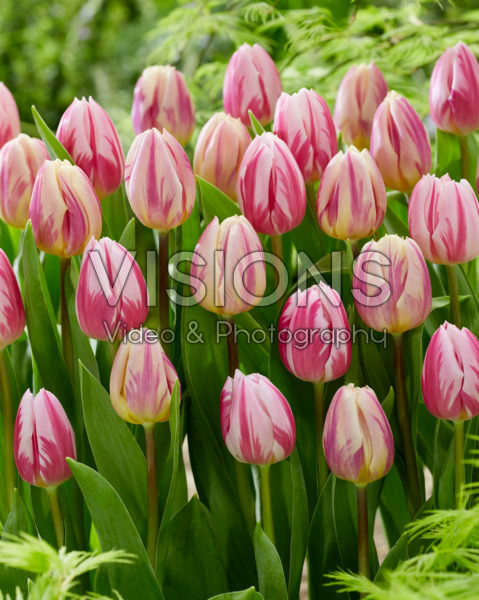 Tulipa Bojangles, Happy Feet