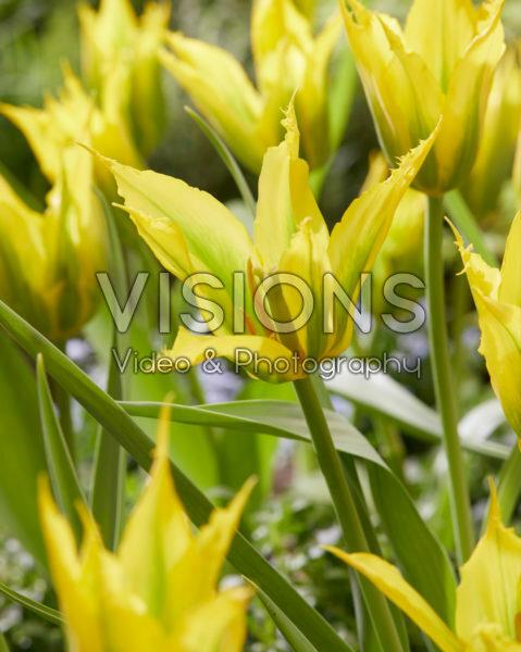 Tulipa Green Mile