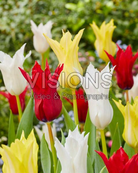 Tulipa Tres Chic Festival