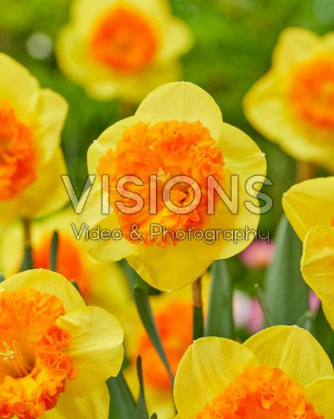 Narcissus Wild Carnival