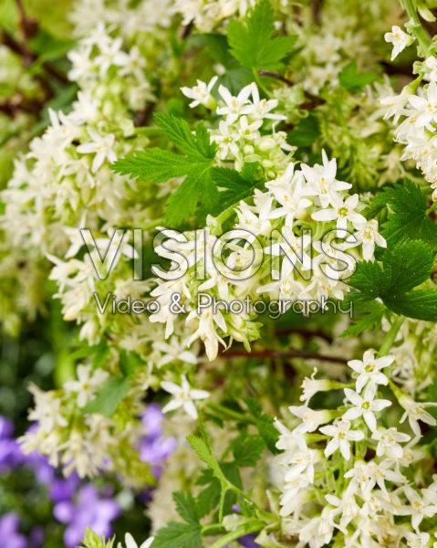 Ribes sanguineum Oregon Snowflake
