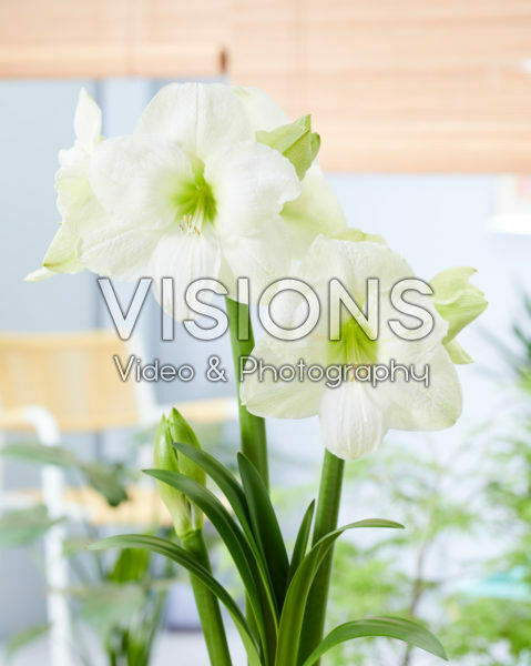 Hippeastrum Moscow