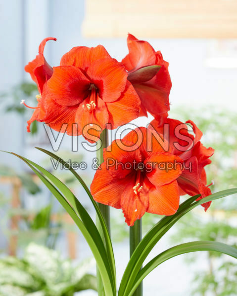 Hippeastrum Orange Souvereign