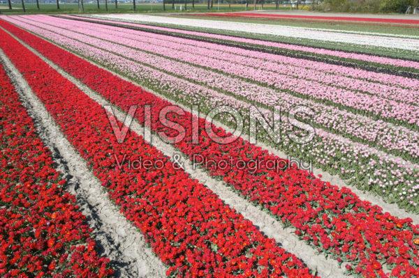 Hollandse tulpenvelden