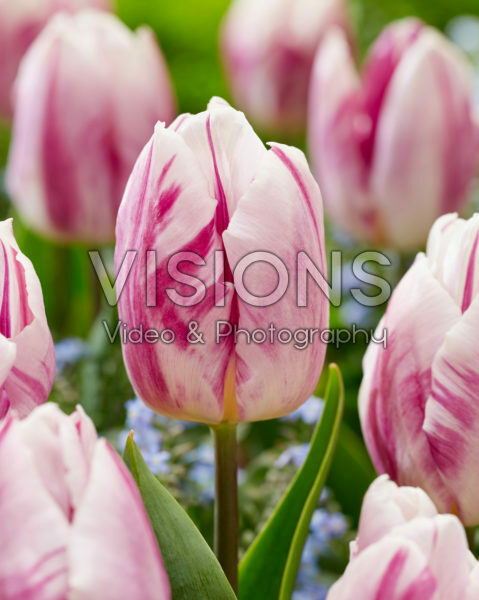 Tulipa Flaming Prince