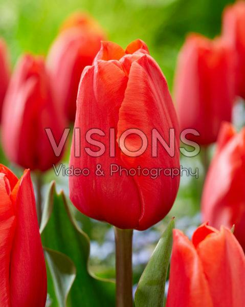 Tulipa Berini