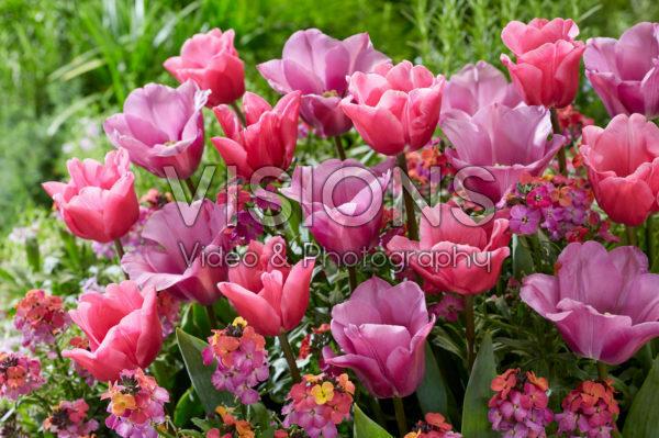 Tulipa Anjesca, President Mary McAleese