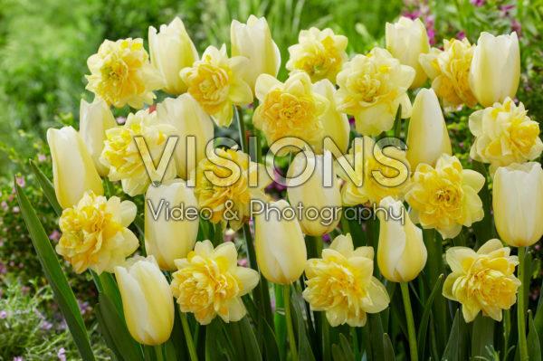 Tulipa Francoise, Narcissus Sweet Pomponette