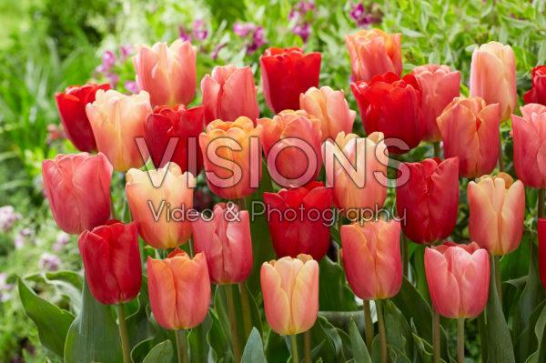 Tulipa Jimmy mix