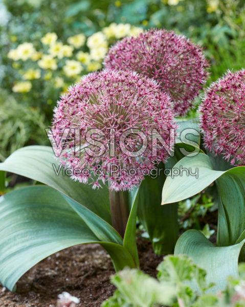 Allium T1
