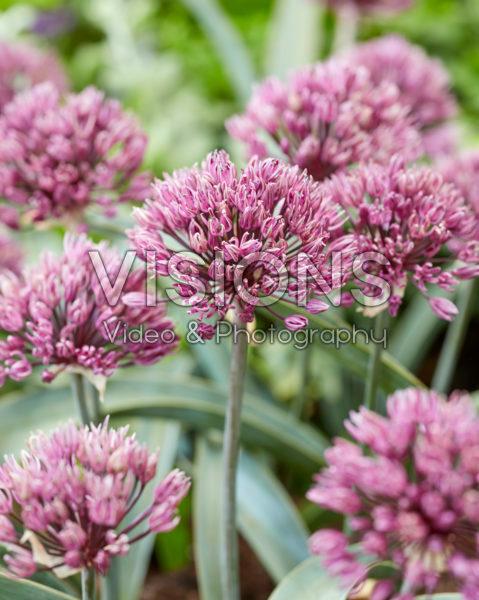 Allium Londen
