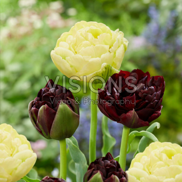 Tulipa Avant Garde, Palmyra