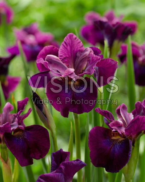 Iris sibirica Devil's Dream