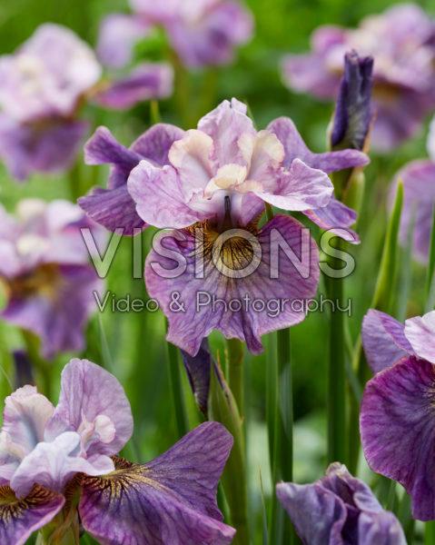 Iris sibirica Careless Sally