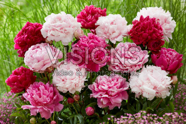 Paeonia double flowering mix