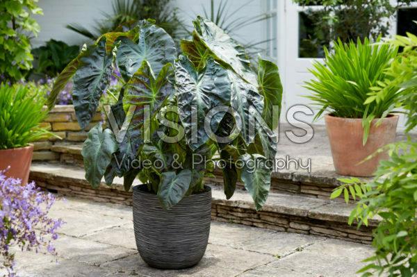 Colocasia esculenta Aloha