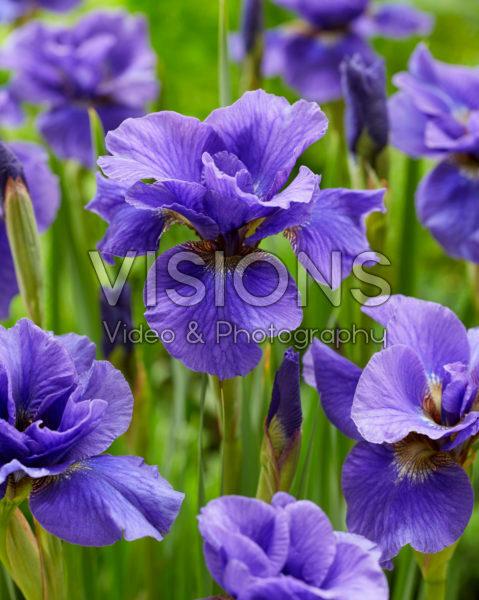 Iris sibirica Onstuimig