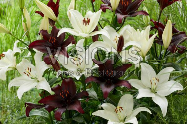 Lilium combination