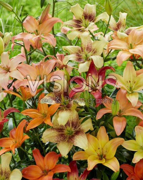 Lilium mix, stuifmeelvrij aziatisch