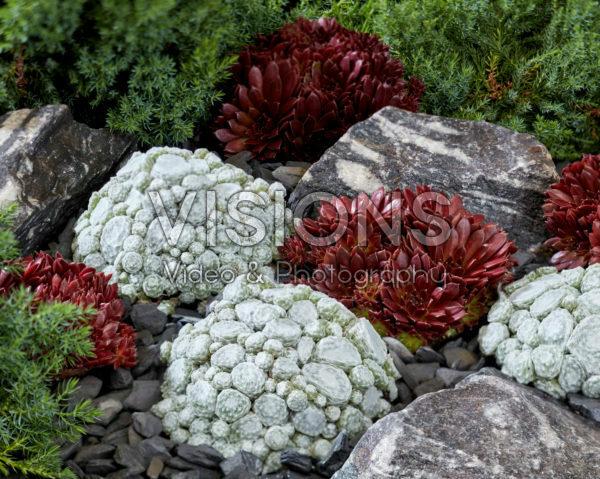 Sempervivum Arctic White, Coral Red