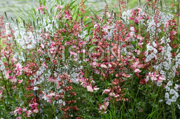 Vaste planten combinatie roze