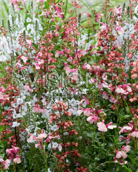 Pink perennial combination