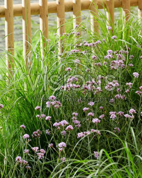 Pennisetum alopecuroides Hameln, Verbena bonariensis