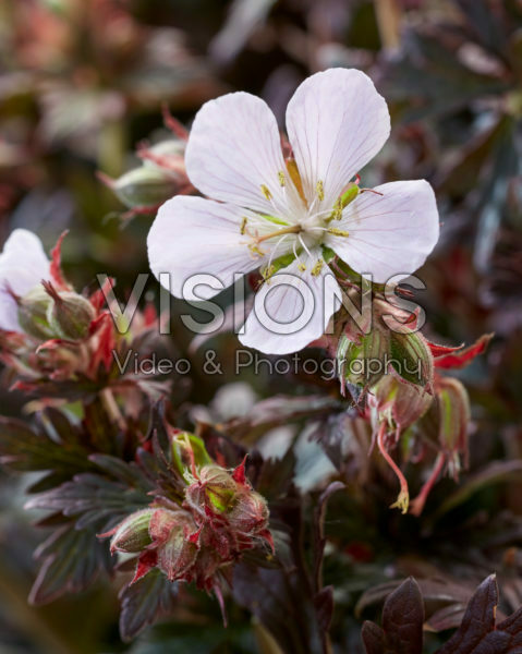 Geranium pratense Black 'n' White Army