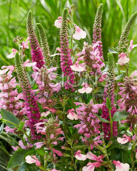 Roze vaste planten mix