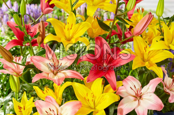 Lilium Levi, Yellow County, Pink County
