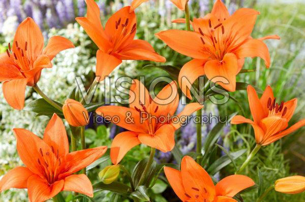 Lilium Orange Summer