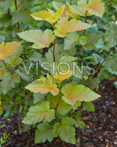 Physocarpus opulifolius Magic Ball®