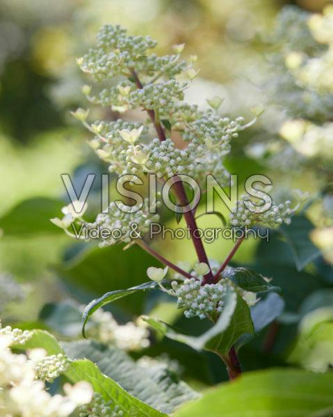 Hydrangea paniculata Early Harry®