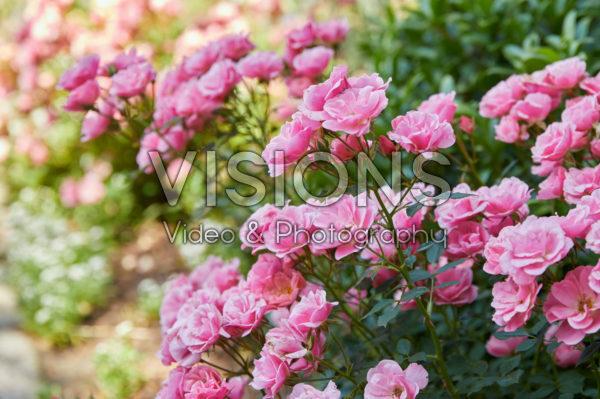 Rosa miniature