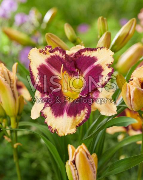 Hemerocallis Cream Eye - 43270
